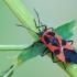 Raudonsparnė dirvablakė - Tropidothorax leucopterus | Fotografijos autorius : Gintautas Steiblys | © Macrogamta.lt | Šis tinklapis priklauso bendruomenei kuri domisi makro fotografija ir fotografuoja gyvąjį makro pasaulį.