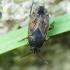 Dirvablakė - Trapezonotus sp. | Fotografijos autorius : Vidas Brazauskas | © Macrogamta.lt | Šis tinklapis priklauso bendruomenei kuri domisi makro fotografija ir fotografuoja gyvąjį makro pasaulį.