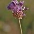 Dirvinis česnakas - Allium vineale   Fotografijos autorius : Kęstutis Obelevičius   © Macrogamta.lt   Šis tinklapis priklauso bendruomenei kuri domisi makro fotografija ir fotografuoja gyvąjį makro pasaulį.