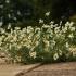 Dirvinis bobramunis - Anthemis arvensis | Fotografijos autorius : Kęstutis Obelevičius | © Macrogamta.lt | Šis tinklapis priklauso bendruomenei kuri domisi makro fotografija ir fotografuoja gyvąjį makro pasaulį.