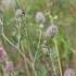 Dirvinis dobilas - Trifolium arvense | Fotografijos autorius : Vytautas Gluoksnis | © Macrogamta.lt | Šis tinklapis priklauso bendruomenei kuri domisi makro fotografija ir fotografuoja gyvąjį makro pasaulį.