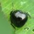 Dobilinė kamuolblakė - Coptosoma scutellarum   Fotografijos autorius : Vidas Brazauskas   © Macrogamta.lt   Šis tinklapis priklauso bendruomenei kuri domisi makro fotografija ir fotografuoja gyvąjį makro pasaulį.