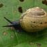 Drėgnutis - Circassina frutis | Fotografijos autorius : Gintautas Steiblys | © Macrogamta.lt | Šis tinklapis priklauso bendruomenei kuri domisi makro fotografija ir fotografuoja gyvąjį makro pasaulį.