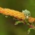 Raudonasis viržinukas, vikšras - Anarta myrtilli  | Fotografijos autorius : Ramunė Vakarė | © Macrogamta.lt | Šis tinklapis priklauso bendruomenei kuri domisi makro fotografija ir fotografuoja gyvąjį makro pasaulį.