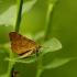 Rudasis mėlyninis sprindžius - Macaria brunneata | Fotografijos autorius : Vidas Brazauskas | © Macrogamta.lt | Šis tinklapis priklauso bendruomenei kuri domisi makro fotografija ir fotografuoja gyvąjį makro pasaulį.