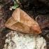 Bulvinis pelėdgalvis - Hydraecia micacea | Fotografijos autorius : Vidas Brazauskas | © Macrogamta.lt | Šis tinklapis priklauso bendruomenei kuri domisi makro fotografija ir fotografuoja gyvąjį makro pasaulį.