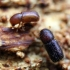 Autografas - Dryocoetes villosus (Fabricius, 1792) | Fotografijos autorius : Vitalii Alekseev | © Macrogamta.lt | Šis tinklapis priklauso bendruomenei kuri domisi makro fotografija ir fotografuoja gyvąjį makro pasaulį.