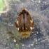 Dusia - Laccophilus hyalinus | Fotografijos autorius : Vitalii Alekseev | © Macrogamta.lt | Šis tinklapis priklauso bendruomenei kuri domisi makro fotografija ir fotografuoja gyvąjį makro pasaulį.