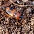 Dvidėmis pievažygis - Badister bullatus   Fotografijos autorius : Romas Ferenca   © Macrogamta.lt   Šis tinklapis priklauso bendruomenei kuri domisi makro fotografija ir fotografuoja gyvąjį makro pasaulį.