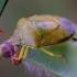 Dvispalvė skydblakė - Piezodorus lituratus   Fotografijos autorius : Romas Ferenca   © Macrogamta.lt   Šis tinklapis priklauso bendruomenei kuri domisi makro fotografija ir fotografuoja gyvąjį makro pasaulį.