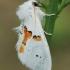 Dvispalvis kuoduotis - Leucodonta bicoloria | Fotografijos autorius : Gintautas Steiblys | © Macrogamta.lt | Šis tinklapis priklauso bendruomenei kuri domisi makro fotografija ir fotografuoja gyvąjį makro pasaulį.
