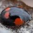 Dvitaškė adalija - Adalia bipunctata | Fotografijos autorius : Žilvinas Pūtys | © Macrogamta.lt | Šis tinklapis priklauso bendruomenei kuri domisi makro fotografija ir fotografuoja gyvąjį makro pasaulį.