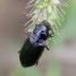 Vikriažygis - Pseudoophonus calceatus | Fotografijos autorius : Romas Ferenca | © Macrogamta.lt | Šis tinklapis priklauso bendruomenei kuri domisi makro fotografija ir fotografuoja gyvąjį makro pasaulį.