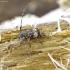 Dvyninis margūnas - Leiopus linnei   Fotografijos autorius : Romas Ferenca   © Macrogamta.lt   Šis tinklapis priklauso bendruomenei kuri domisi makro fotografija ir fotografuoja gyvąjį makro pasaulį.