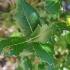 Dygialapis bugienis - Ilex aquifolium | Fotografijos autorius : Gintautas Steiblys | © Macrogamta.lt | Šis tinklapis priklauso bendruomenei kuri domisi makro fotografija ir fotografuoja gyvąjį makro pasaulį.