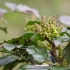 Dyglialapė mahonija   Oregon-grape   Mahonia aquifolium   Fotografijos autorius : Darius Baužys   © Macrogamta.lt   Šis tinklapis priklauso bendruomenei kuri domisi makro fotografija ir fotografuoja gyvąjį makro pasaulį.