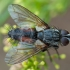 Dygliamusė - Eriothrix rufomaculata | Fotografijos autorius : Žilvinas Pūtys | © Macrogamta.lt | Šis tinklapis priklauso bendruomenei kuri domisi makro fotografija ir fotografuoja gyvąjį makro pasaulį.