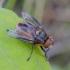 Dygliamusė - Phasia hemiptera | Fotografijos autorius : Kazimieras Martinaitis | © Macrogamta.lt | Šis tinklapis priklauso bendruomenei kuri domisi makro fotografija ir fotografuoja gyvąjį makro pasaulį.
