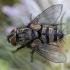 Dygliamusė - Phorinia aurifrons ♀ | Fotografijos autorius : Žilvinas Pūtys | © Macrogamta.lt | Šis tinklapis priklauso bendruomenei kuri domisi makro fotografija ir fotografuoja gyvąjį makro pasaulį.