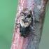 Dygliasparnis žabinukas - Pogonocherus hispidus | Fotografijos autorius : Romas Ferenca | © Macrogamta.lt | Šis tinklapis priklauso bendruomenei kuri domisi makro fotografija ir fotografuoja gyvąjį makro pasaulį.