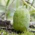Dygliavaisis virkštenis - Echinocystis lobata | Fotografijos autorius : Kazimieras Martinaitis | © Macrogamta.lt | Šis tinklapis priklauso bendruomenei kuri domisi makro fotografija ir fotografuoja gyvąjį makro pasaulį.