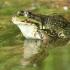 Ežerinė varlė - Pelophylax ridibundus | Fotografijos autorius : Gintautas Steiblys | © Macrogamta.lt | Šis tinklapis priklauso bendruomenei kuri domisi makro fotografija ir fotografuoja gyvąjį makro pasaulį.