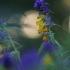 Krūminis kūpolis – Melampyrum nemorosum   Fotografijos autorius : Agnė Našlėnienė   © Macrogamta.lt   Šis tinklapis priklauso bendruomenei kuri domisi makro fotografija ir fotografuoja gyvąjį makro pasaulį.