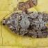 Eglinė dichelija - Dichelia histrionana | Fotografijos autorius : Žilvinas Pūtys | © Macrogamta.lt | Šis tinklapis priklauso bendruomenei kuri domisi makro fotografija ir fotografuoja gyvąjį makro pasaulį.