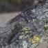 Eglinis ožiaragis - Monochamus sartor | Fotografijos autorius : Giedrius Markevičius | © Macrogamta.lt | Šis tinklapis priklauso bendruomenei kuri domisi makro fotografija ir fotografuoja gyvąjį makro pasaulį.