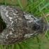 Eglinis verpikas - Calliteara abietis ♂ | Fotografijos autorius : Žilvinas Pūtys | © Macrogamta.lt | Šis tinklapis priklauso bendruomenei kuri domisi makro fotografija ir fotografuoja gyvąjį makro pasaulį.