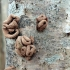 Rupusis žievinukas - Encoelia furfuracea  | Fotografijos autorius : Vytautas Gluoksnis | © Macrogamta.lt | Šis tinklapis priklauso bendruomenei kuri domisi makro fotografija ir fotografuoja gyvąjį makro pasaulį.
