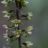 Trumpalapis skiautalūpis - Epipactis purpurata | Fotografijos autorius : Jogaila Mackevičius | © Macrogamta.lt | Šis tinklapis priklauso bendruomenei kuri domisi makro fotografija ir fotografuoja gyvąjį makro pasaulį.