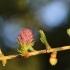 Europinis maumedis - Larix decidua   Fotografijos autorius : Agnė Našlėnienė   © Macrogamta.lt   Šis tinklapis priklauso bendruomenei kuri domisi makro fotografija ir fotografuoja gyvąjį makro pasaulį.