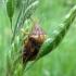Eurygaster testudinaria - Lenktagalvė vėžliablakė | Fotografijos autorius : Vitalii Alekseev | © Macrogamta.lt | Šis tinklapis priklauso bendruomenei kuri domisi makro fotografija ir fotografuoja gyvąjį makro pasaulį.