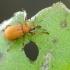 Rūgštyninis apionas | Fotografijos autorius : Darius Baužys | © Macrogamta.lt | Šis tinklapis priklauso bendruomenei kuri domisi makro fotografija ir fotografuoja gyvąjį makro pasaulį.