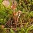 Galerina pumila | Fotografijos autorius : Vytautas Gluoksnis | © Macrogamta.lt | Šis tinklapis priklauso bendruomenei kuri domisi makro fotografija ir fotografuoja gyvąjį makro pasaulį.