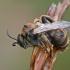 Gauruotakojė bitė - Dasypoda altercator ♂   Fotografijos autorius : Gintautas Steiblys   © Macrogamta.lt   Šis tinklapis priklauso bendruomenei kuri domisi makro fotografija ir fotografuoja gyvąjį makro pasaulį.