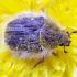 Gauruotasis auksavabalis - Tropinota hirta   Fotografijos autorius : Romas Ferenca   © Macrogamta.lt   Šis tinklapis priklauso bendruomenei kuri domisi makro fotografija ir fotografuoja gyvąjį makro pasaulį.