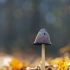 Gauruotasis mėšlagrybis - Coprinus comatus | Fotografijos autorius : Zita Gasiūnaitė | © Macrogamta.lt | Šis tinklapis priklauso bendruomenei kuri domisi makro fotografija ir fotografuoja gyvąjį makro pasaulį.