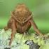 Gelsvasis šakniagraužis - Triodia sylvina | Fotografijos autorius : Vidas Brazauskas | © Macrogamta.lt | Šis tinklapis priklauso bendruomenei kuri domisi makro fotografija ir fotografuoja gyvąjį makro pasaulį.