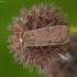 Gelsvataškis dirvinukas - Xestia xanthographa | Fotografijos autorius : Žilvinas Pūtys | © Macrogamta.lt | Šis tinklapis priklauso bendruomenei kuri domisi makro fotografija ir fotografuoja gyvąjį makro pasaulį.