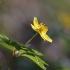 Geltonžiedė plukė - Anemonoides ranunculoides   Fotografijos autorius : Agnė Našlėnienė   © Macrogamta.lt   Šis tinklapis priklauso bendruomenei kuri domisi makro fotografija ir fotografuoja gyvąjį makro pasaulį.