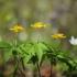 Geltonžiedė plukė - Anemonoides ranunculoides | Fotografijos autorius : Vidas Brazauskas | © Macrogamta.lt | Šis tinklapis priklauso bendruomenei kuri domisi makro fotografija ir fotografuoja gyvąjį makro pasaulį.