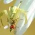 Geltonasis žiedvoris - Misumena vatia | Fotografijos autorius : Žygimantas Obelevičius | © Macrogamta.lt | Šis tinklapis priklauso bendruomenei kuri domisi makro fotografija ir fotografuoja gyvąjį makro pasaulį.