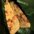Geltonasis vėlyvis - Xanthia icteritia   Fotografijos autorius : Ramunė Vakarė   © Macrogamta.lt   Šis tinklapis priklauso bendruomenei kuri domisi makro fotografija ir fotografuoja gyvąjį makro pasaulį.