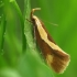 Geltonjuostė harpela - Harpella forficella | Fotografijos autorius : Vidas Brazauskas | © Macrogamta.lt | Šis tinklapis priklauso bendruomenei kuri domisi makro fotografija ir fotografuoja gyvąjį makro pasaulį.