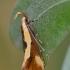 Geltonjuostė harpela - Harpella forficella | Fotografijos autorius : Arūnas Eismantas | © Macrogamta.lt | Šis tinklapis priklauso bendruomenei kuri domisi makro fotografija ir fotografuoja gyvąjį makro pasaulį.