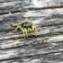 Geltonkojis žėrūnas - Heliophanus flavipes | Fotografijos autorius : Kazimieras Martinaitis | © Macrogamta.lt | Šis tinklapis priklauso bendruomenei kuri domisi makro fotografija ir fotografuoja gyvąjį makro pasaulį.