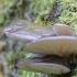 Gluosninė kreivabudė - Pleurotus ostreatus | Fotografijos autorius : Kazimieras Martinaitis | © Macrogamta.lt | Šis tinklapis priklauso bendruomenei kuri domisi makro fotografija ir fotografuoja gyvąjį makro pasaulį.