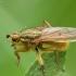 Geltonoji mėšlamusė - Scathophaga stercoraria | Fotografijos autorius : Vidas Brazauskas | © Macrogamta.lt | Šis tinklapis priklauso bendruomenei kuri domisi makro fotografija ir fotografuoja gyvąjį makro pasaulį.